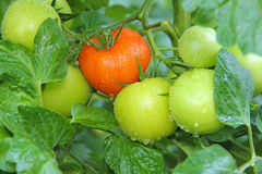 Watering Tomatoes Stock Photography