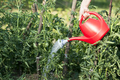 Watering tomatoes. Watering vegetables in the garden Stock Photos