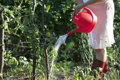 Watering tomatoes. Watering vegetables in the garden Stock Photo