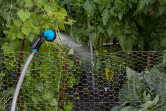 Garden hose set on the fence to water tomatoes. Watering tomatoes, cabbage and cucumbers on the home garden is crucial to get good results royalty free stock photography