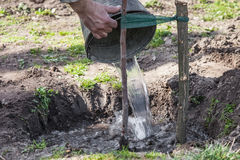 Watering tree seedlings after planting. Watering fruit tree seedlings after planting into soil, gardening step by step guide Stock Images