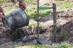 Watering tree seedlings after planting Royalty Free Stock Image