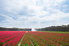 Watering Tulip field Royalty Free Stock Photo