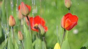 Watering tulips. Watering tulips on a hot summer day stock footage