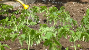 Watering of vegetable garden stock video