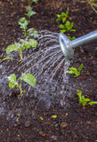 Watering vegetable patch Royalty Free Stock Photo
