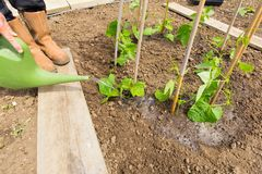 Watering vegetable plants on an allotment. Gardener watering newly planted runner bean plants on an allotment royalty free stock image