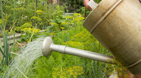 Watering vegetable plants in the garden of the old heads Stock Photography