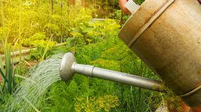 Watering vegetable plants in the garden of an old metal watering can. Woman beds greenhouse vegetables growing carrots tops care gardening nature summer girl stock photo