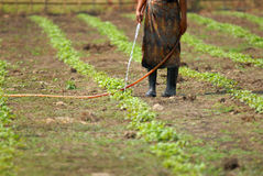Watering vegetables. Royalty Free Stock Photography