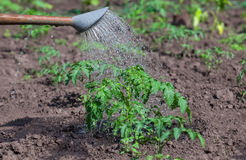 Watering from a watering can plant tomatoes planted in the ground. In spring royalty free stock photography