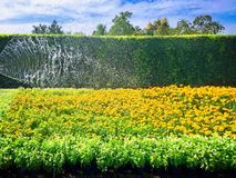 Watering Yellow Flowers Field in front of Green Bush Royalty Free Stock Photos