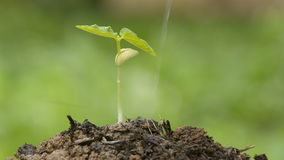 Watering young plant stock footage