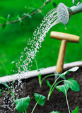 Watering young seedlings Royalty Free Stock Image