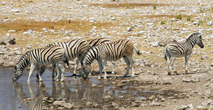 Watering Zebra Royalty Free Stock Images