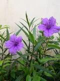 Waterkanon blommor Royaltyfria Foton
