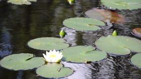 Waterlelie stock videobeelden