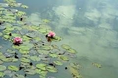 Waterlelie royalty-vrije stock fotografie