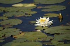 Waterlelie royalty-vrije stock afbeelding