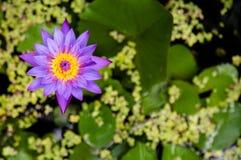 Waterlelie, Blauwe sterlotusbloem, blauwe waterlelie Royalty-vrije Stock Fotografie