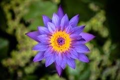 Waterlelie, Blauwe sterlotusbloem, blauwe waterlelie Stock Foto's