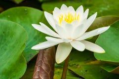 Waterlelie in bloei Stock Foto
