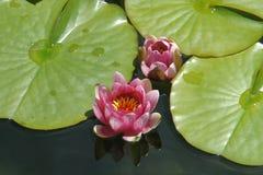 Waterlelie, Bloemen in een vijver, Waterplanten royalty-vrije stock afbeelding