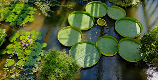 Waterlelie Botanische Tuin, Padua, Italië stock afbeelding