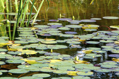 Waterlelie in de herfst Stock Foto