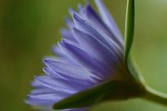 Waterlelie in de mening van het volledige bloeiprofiel stock foto