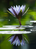 Waterlelie in de Vijver Royalty-vrije Stock Afbeelding
