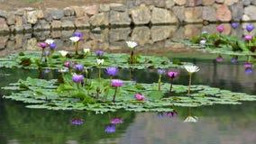 Waterlelie in de Vijver Stock Fotografie