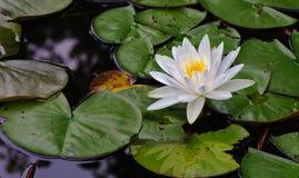 Waterlelie die in een stil meer bloeien Royalty-vrije Stock Afbeelding