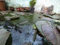Waterlelie in een tank royalty-vrije stock foto