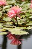 Waterlelie in een vijver royalty-vrije stock foto's
