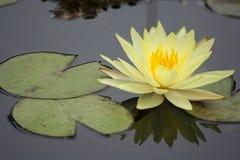 Waterlelie in een vijver stock foto