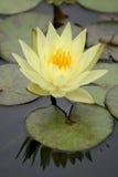 Waterlelie in een vijver royalty-vrije stock afbeelding