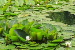 Waterlelie in een vijver Royalty-vrije Stock Afbeeldingen