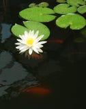 Waterlelie in een vijver met goudvis Stock Afbeeldingen