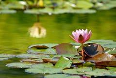 Waterlelie en Bezinning Stock Fotografie