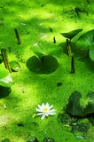Waterlelie en eendekroos stock foto