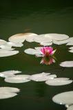 Waterlelie en vissen in vijver Royalty-vrije Stock Afbeeldingen