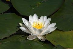 Waterlelie, familie Nymphaeaceae Stock Foto
