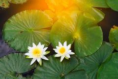 Waterlelie, groene waterplantbladeren Royalty-vrije Stock Foto's