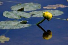 Waterlelie in het bergmeer stock fotografie