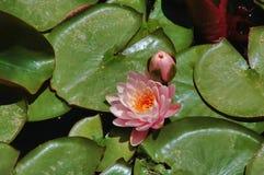 Waterlelie het bloeien Royalty-vrije Stock Afbeeldingen