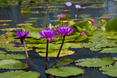 Waterlelie in het donkere water Royalty-vrije Stock Afbeeldingen
