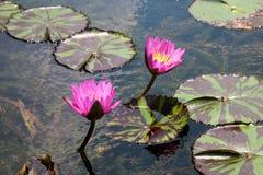 Waterlelie in het donkere water Royalty-vrije Stock Foto's