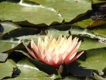 Waterlelie in het meer Royalty-vrije Stock Foto