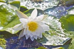 Waterlelie in het meer Stock Foto